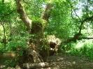 Вековни дървета