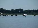 Корморани и розов пеликан в полет
