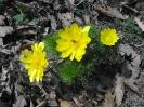 Пролетен горицвет